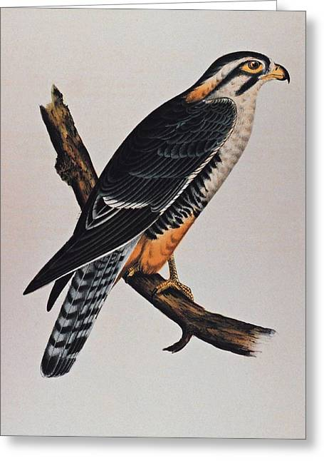 Noaa Greeting Cards - Falcon Aplomado Falcon Greeting Card by Movie Poster Prints