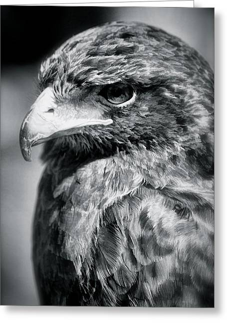 Photos Of Birds Greeting Cards - Falcon Greeting Card by Heidi Piccerelli