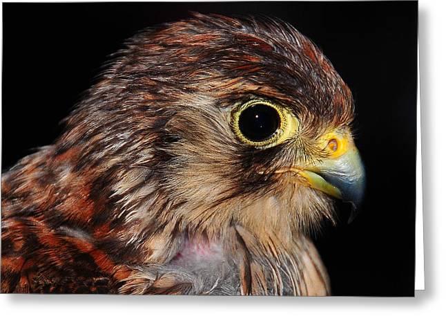 Peregrine Falcon Greeting Cards - Falcon Greeting Card by Jenny Rainbow