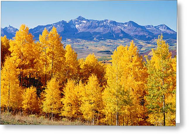 Tree Lines Greeting Cards - Fall Aspen Trees Telluride Co Greeting Card by Panoramic Images