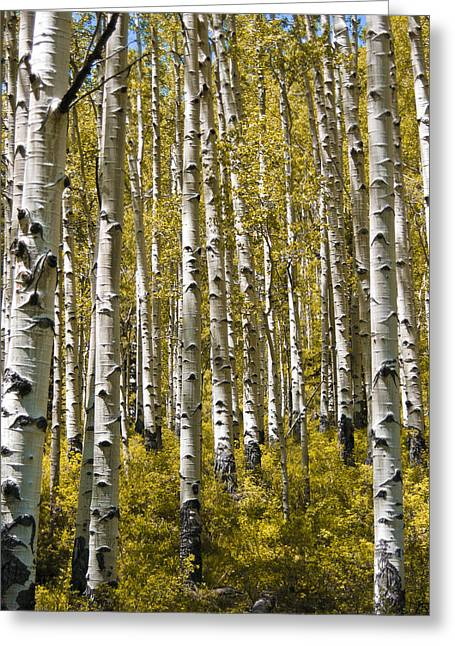 Fall Photos Greeting Cards - Fall Aspens Greeting Card by Adam Romanowicz