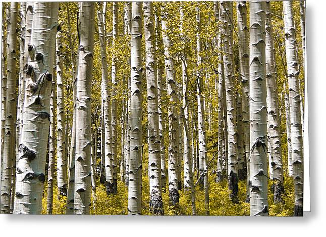 Fall Aspens Greeting Card by Adam Romanowicz