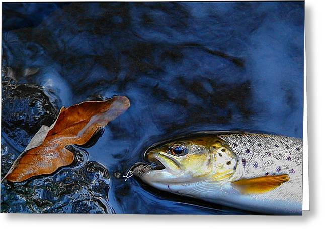 Brown Trout Photographs Greeting Cards - Fall Brown Trout Greeting Card by Thomas Young