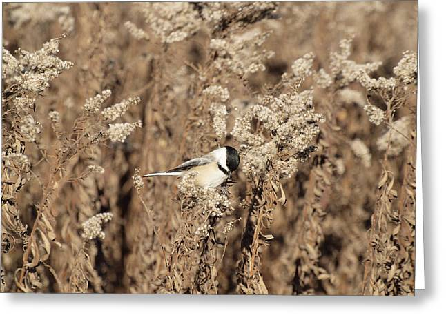 Thomas Young Photography Greeting Cards - Fall Chickadee Greeting Card by Thomas Young