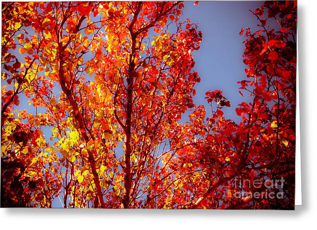 Red And Gold Leaves Greeting Cards - Fall Color Explosion Greeting Card by Sonja Quintero
