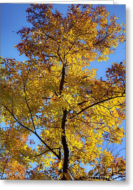 Fall Colors Greeting Cards - Fall Colors Beautiful Tree Greeting Card by Dustin K Ryan