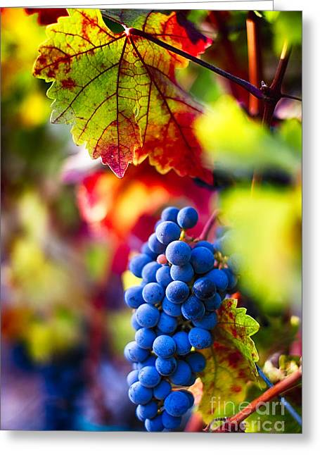 Blue Grapes Greeting Cards - Fall Colors of Napa Valley Greeting Card by George Oze