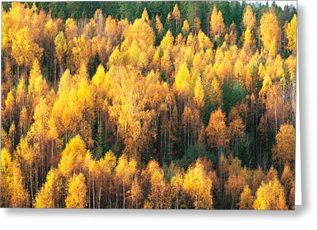 Tall Trees Greeting Cards - Fall Colors Sundsval Vicinity Sweden Greeting Card by Panoramic Images