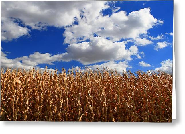 Cornfield Greeting Cards - Fall Corn Stalks And Blue Skies Greeting Card by Dan Sproul