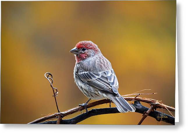 Feeding Birds Photographs Greeting Cards - Fall Finch Greeting Card by Christina Rollo