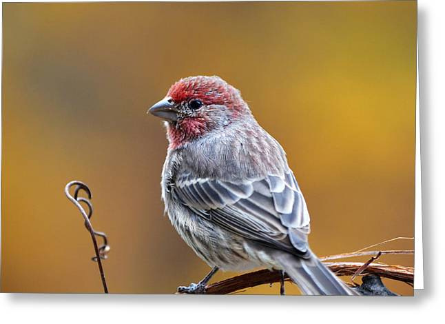 Feeding Birds Greeting Cards - Fall Finch Square Greeting Card by Christina Rollo