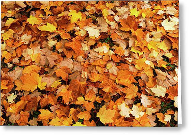 Fall Foliage In The Backyard, Eureka Greeting Card by Panoramic Images