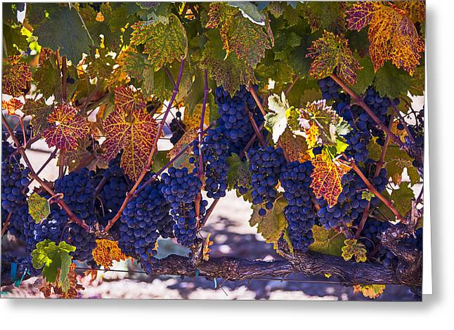 Grape Vines Greeting Cards - Fall Grape Harvest Greeting Card by Garry Gay
