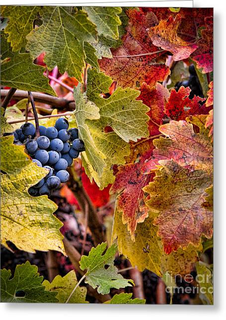 Grape Vineyard Greeting Cards - Fall Grapes Greeting Card by Ana V  Ramirez