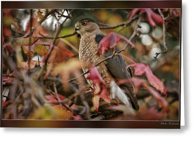 Photo Gallery Website Greeting Cards - Fall Hawk Greeting Card by Blake Richards