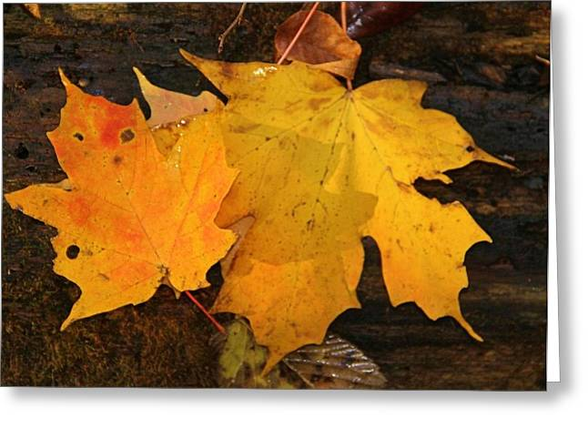 Fall Colors Greeting Cards - Fall Leaves  Greeting Card by Dan Sproul