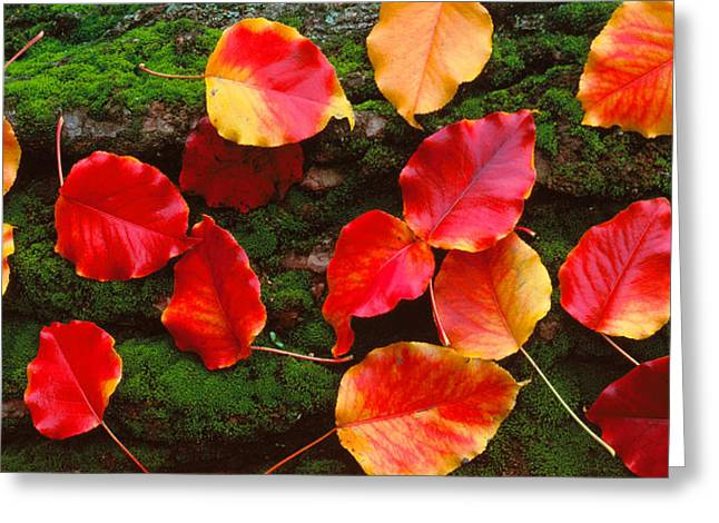 Fallen Leaf Greeting Cards - Fall Leaves Sacramento Ca Usa Greeting Card by Panoramic Images