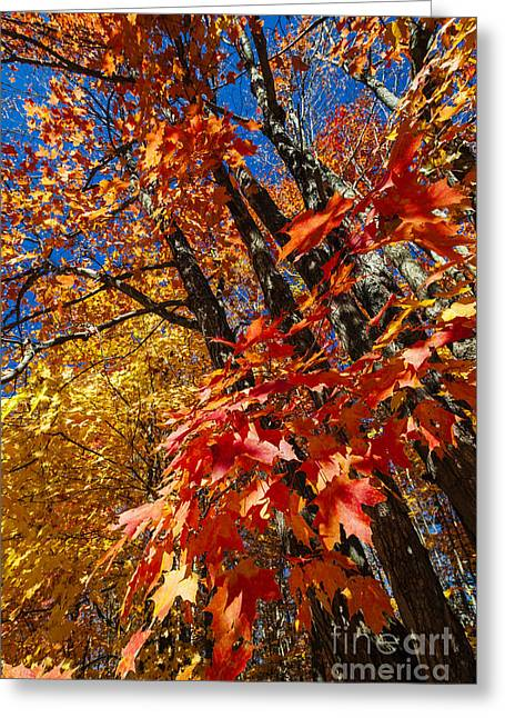 Algonquin Park Greeting Cards - Fall maple forest Greeting Card by Elena Elisseeva