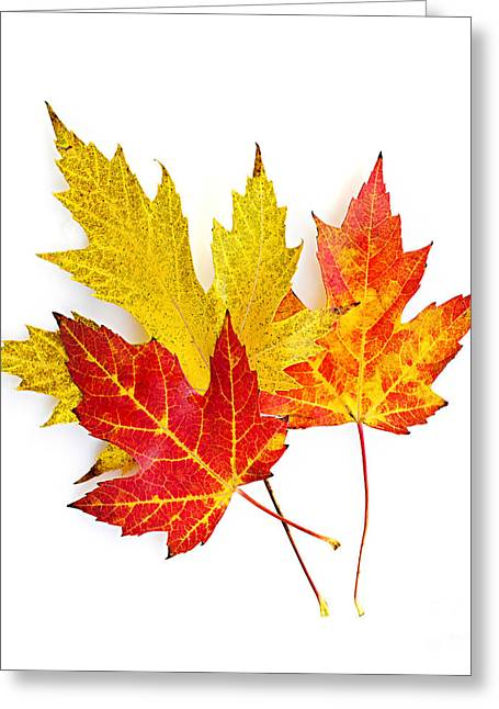 Bright Leaves Greeting Cards - Fall maple leaves on white Greeting Card by Elena Elisseeva