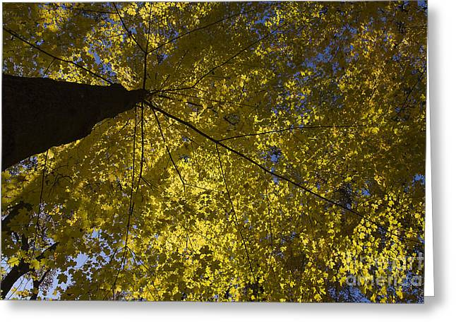 Fall maple Greeting Card by Steven Ralser