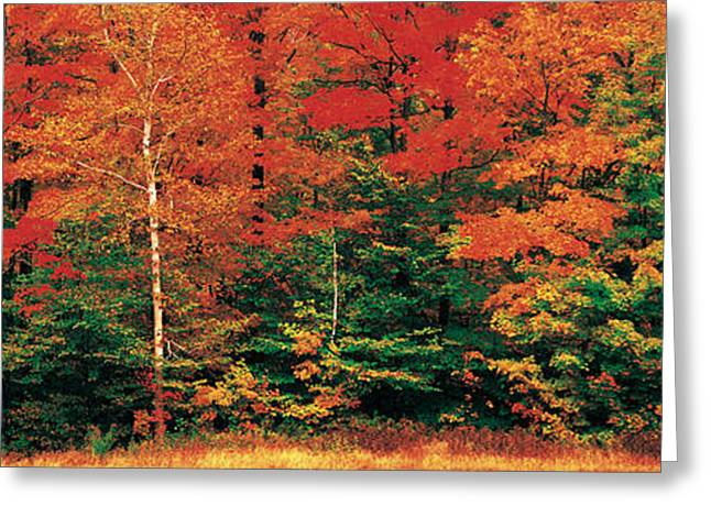 Sugar Maple Greeting Cards - Fall Maple Trees Greeting Card by Panoramic Images