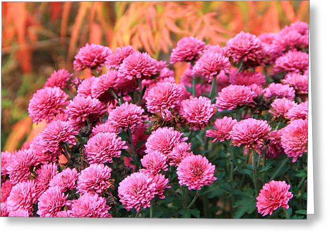 Fall Colors Greeting Cards - Fall Mums Greeting Card by Dan Sproul