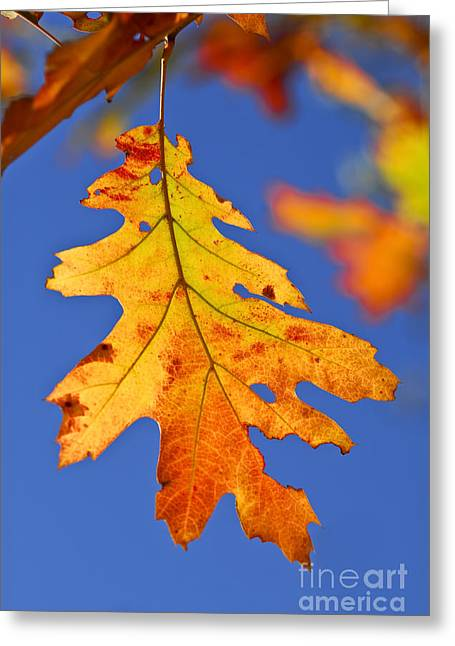 Sunlit Greeting Cards - Fall oak leaf Greeting Card by Elena Elisseeva