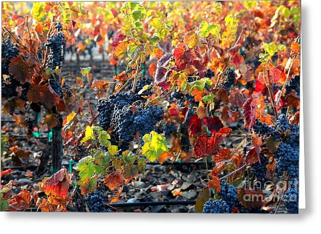 Fall Vineyards Greeting Cards - Light through Fall Vineyard Greeting Card by Carol Groenen