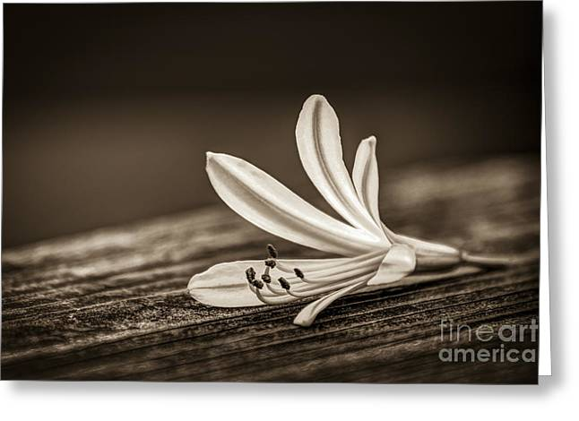 Vine Leaves Greeting Cards - Fallen Beauty- sepia Greeting Card by Marvin Spates