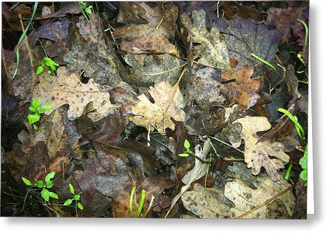 Forest Floor Greeting Cards - Fallen Leaves Greeting Card by Lynn Andrews