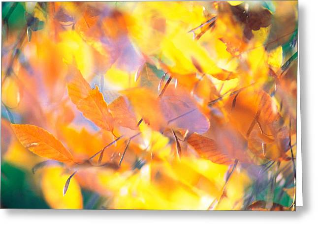 Yellow Leaves Greeting Cards - Fallen Leaves On Ground With Backlit Greeting Card by Panoramic Images