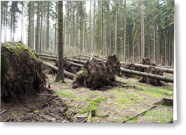 Uproot Greeting Cards - Fallen Trees Greeting Card by Michal Boubin