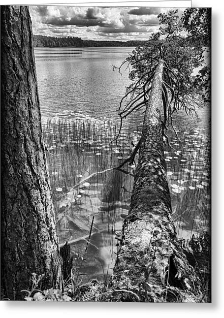 Founders Tree Greeting Cards - Fallen Greeting Card by Yevgeni Kacnelson