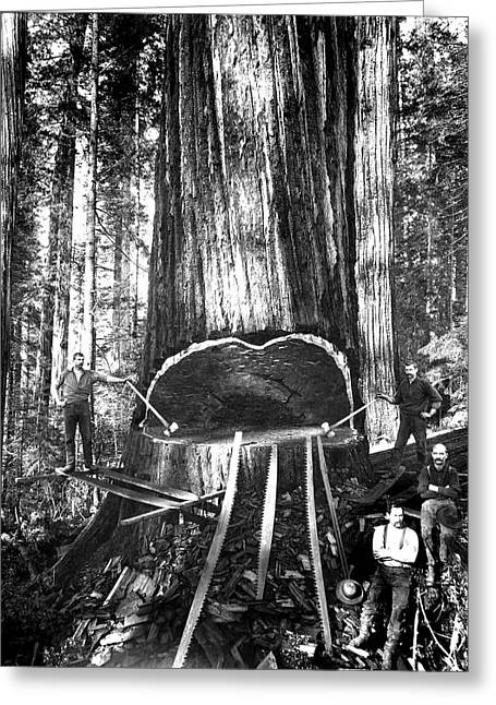 Logger Greeting Cards - FALLING a GIANT SEQUOIA c. 1890 Greeting Card by Daniel Hagerman