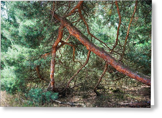 Falling Pine Tree In Veluwe National Park. Netherlands. Greeting Card by Jenny Rainbow