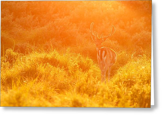 Fallow Deer At Sunset Greeting Card by Roeselien Raimond