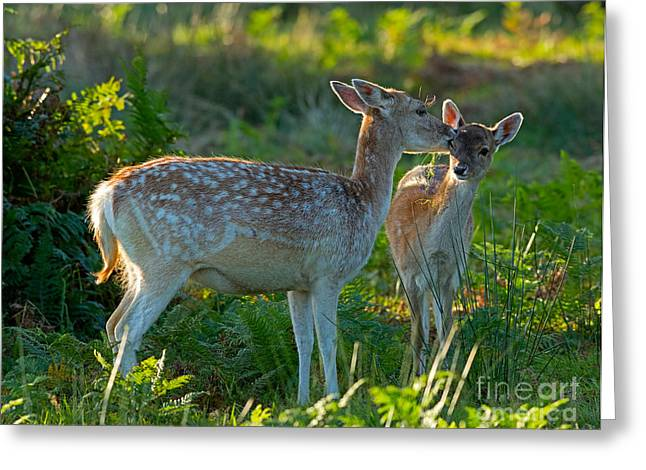 Dama Greeting Cards - Fallow deer doe with fawn Greeting Card by Louise Heusinkveld