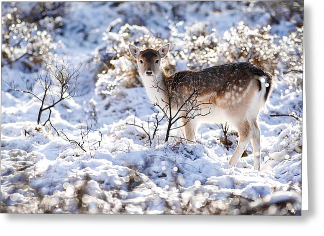 Snow Scenes Greeting Cards - Fallow Deer in Winter Wonderland Greeting Card by Roeselien Raimond