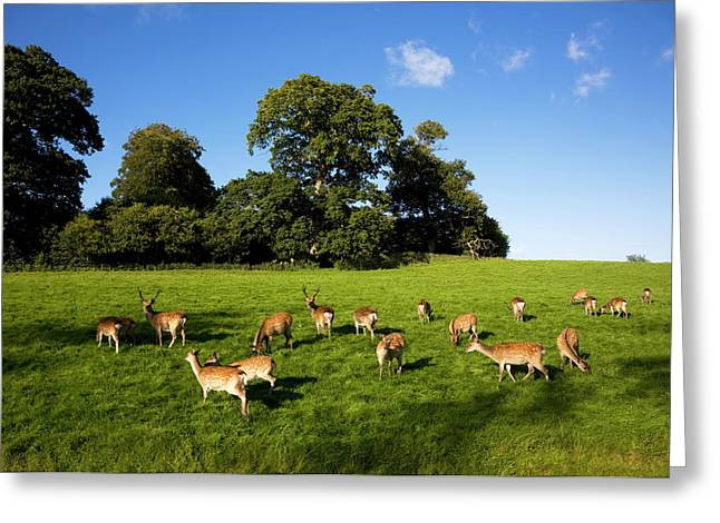 Action Animals Greeting Cards - Fallow Deer In The Demesne, Doneraile Greeting Card by Panoramic Images