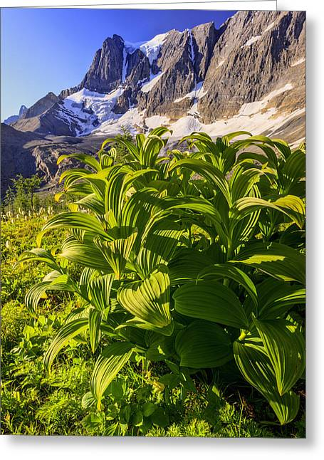 False Hellebore Greeting Cards - False Hellebore At The Base Of The Greeting Card by Ron Watts