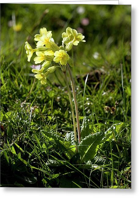 False Oxlip (primula X Polyantha) Greeting Card by Bob Gibbons