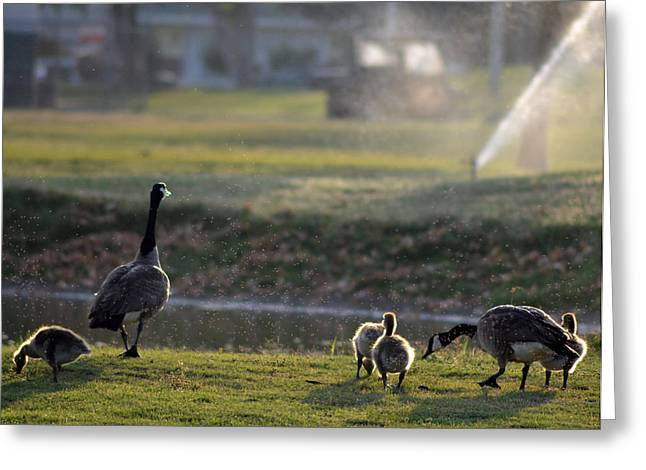 Water Fowl Greeting Cards - Family Affair Greeting Card by Camille Lopez
