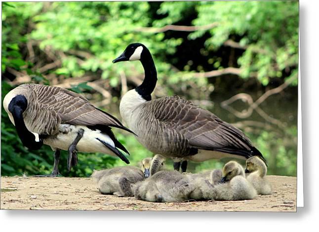 Geese Greeting Cards - Family Brood Greeting Card by Deborah  Crew-Johnson