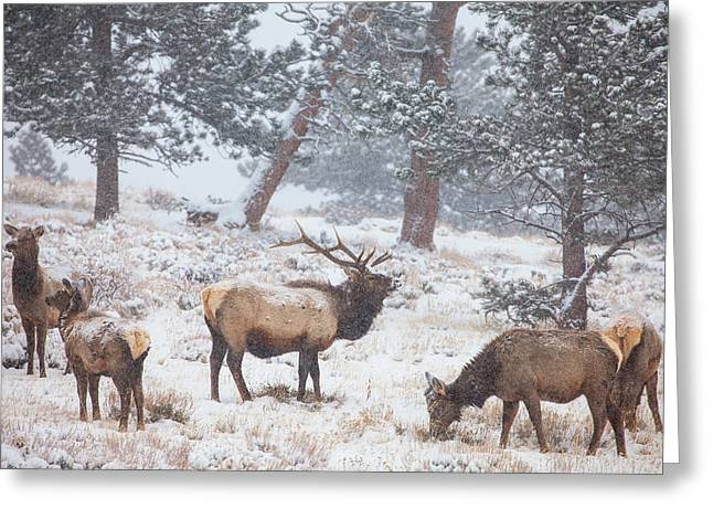 Elk Wildlife Greeting Cards - Family Man Greeting Card by Darren  White