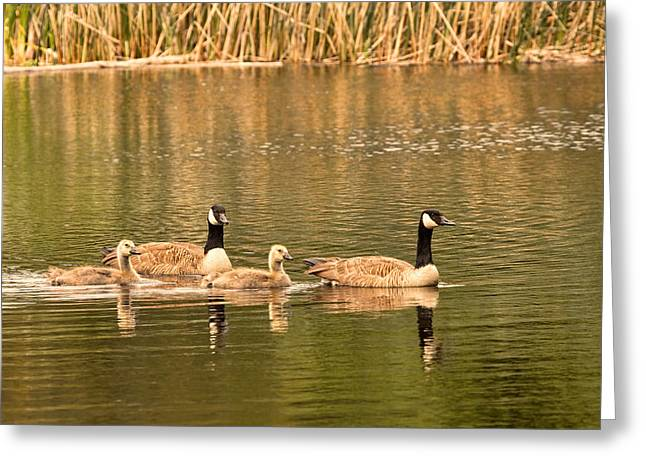 Mother Goose Greeting Cards - Family of Canada Geese Greeting Card by Peggy Collins