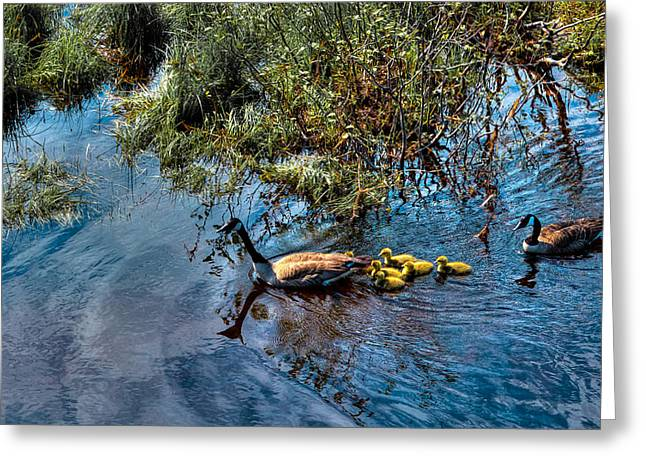 Geese Family Greeting Cards - Family of Geese on the Moose River Greeting Card by David Patterson