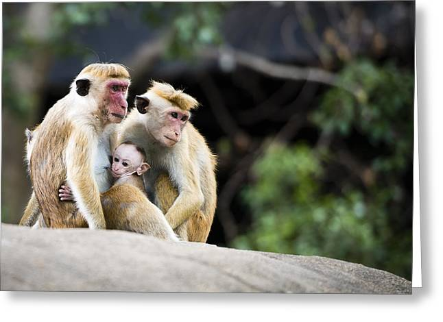 Caring Mother Greeting Cards - Family of red-faced Macaque monkeys in the forest Greeting Card by Twilight View