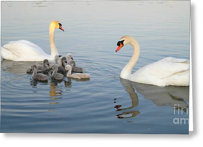Swans... Greeting Cards - Family of Swans 2 Greeting Card by Lisa Kilby