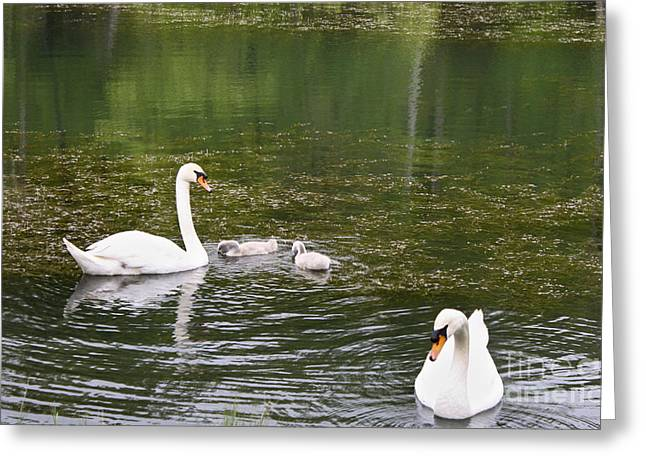 Family Of Swans Greeting Card by Teresa Mucha
