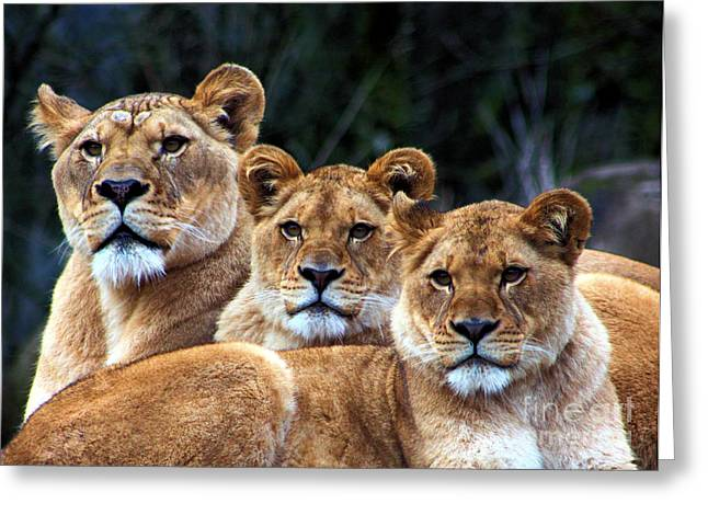 Lioness Greeting Cards - Family Pride Greeting Card by Nick Gustafson
